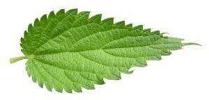 Лист крапивы